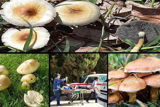 خطر مرگ بامصرف قارچ های سمی، مردم مراقب باشند