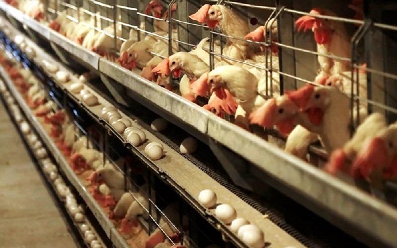 چرا مرغ و تخم مرغ گران شد؟