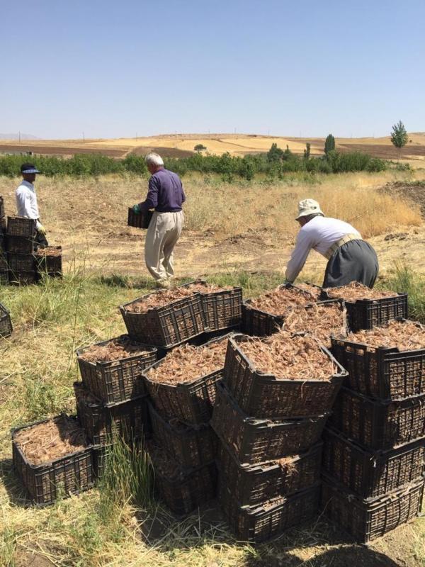 کشت طلای سرخ در شهرستان جوانرود