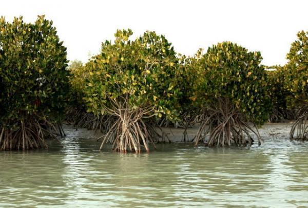 از حرّا تا مانگرو؛ هفت نکته درباره جنگل های خلیج فارس و دریای عمان